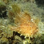 SCUBA Dive with Anglerfish/FROGfish @ Fly Point