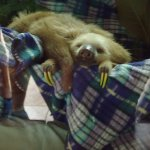 Baby 2 Toed Sloth