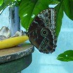 Owl moth in butterfly garden