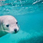 Underwater with Australian Sea Lion watching me watching him.