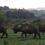 Ngorongoro Rhino Lodge - view from my balcony of cape buffalo