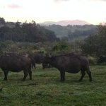 Ngorongoro Rhino Lodge - view from my balcony of cape buffalo