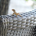 Mr.Lizard - tiny lizards throughout the resort, very cute, quick and shy