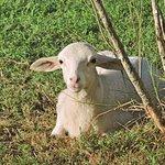Lamb enjoying the sunshine, one of a whole flock roaming the resort