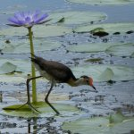 Little Jacana walking on Fogg Dam lily pads
