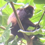 Andreas found us a howler monkey! Actuall about five of them! Pretty amaaing!