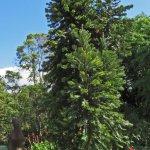 Rare wollemi pine tree