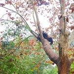 Panda in the tree