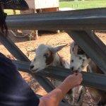 Feeding the goats at the farm near the hotel
