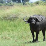 One of thousands of Cape buffalo at Chief's.