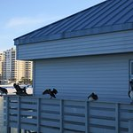 Pelicans on Pier 60, Clearwater Beach