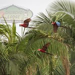 Scarlet Macaws flying