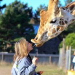 Never thought I would get a giraffe kiss!