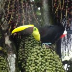 Toucan in the hotel gardens