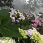 Beautiful Hydrangeas outside the hotel in the mist! I couldn't resist !