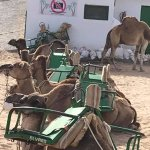 Camels ready to go
