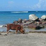 a wild pig on the beach!