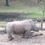 Rhino...getting more rare every day.