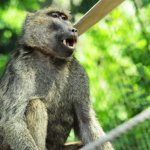 The Zoo is home to a troop of 12 Olive baboons