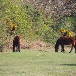 New Forest ponies in Brockenhurst