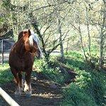 Uno de los varios caballos que se encuentran en la Fageda.