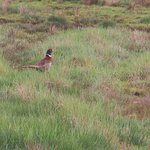 Pheasant in the grass