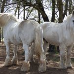 Beautiful enormous horses