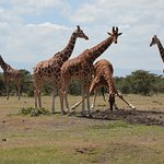 Reticulated giraffe drinking near Porini Rhino Camp.