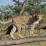 Cheetah sighting in Ol Pejeta conservancy.