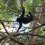 Howler monkey in the tree next door stayed for a long time.