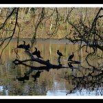 Cormorants at the Swan Pond