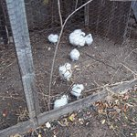 Fluffy white chickens