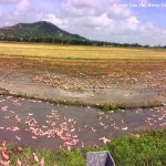 Rice fields in Mekong on the way to Tra Su forest with Can Tho River Tour Co., Ltd.