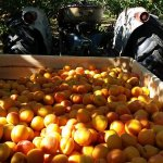 Our yummy apricots are available fresh from the tree!