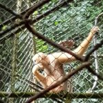 Photo of Gibbon Rehabilitation Project