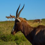 Day out at Tala - Blesbok