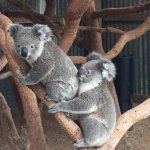 You can pat a koala after the presentation for no extra cost.