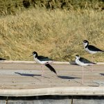 Black necked stilts at the state park headquarters