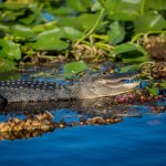 Alligator soaking up the sunshine