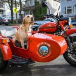 Dogs & Sidecar Motorcycles, They Just Go Hand in Hand!
