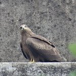 The Black Kite landed nearby and was watching the Palm Squirrels.