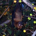 Large Fruitbats land on the tree outside of the room, fascinating to watch.