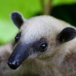 Fergus the anteater