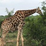Giraffes, amazing animals