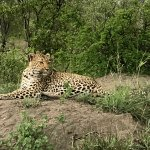 We were fortunate to see both this female leopard and a male leopard