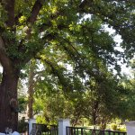 Magnificent oak tree at the outside deck