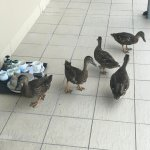 The ducks raiding our used breakfast tray.