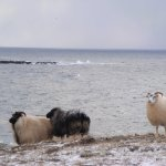 I think these are rams. One of them had a blue sigil on its forehead.
