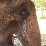 Blind elephant with infected eye - still worked when I visited - ethical???