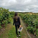 Picking Niagara Grapes